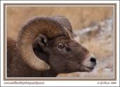 Sheep_Eyes