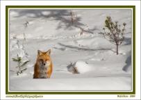 Snow_Fox