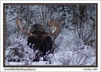 Snow_Moose
