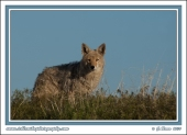 The_Old_Coyote