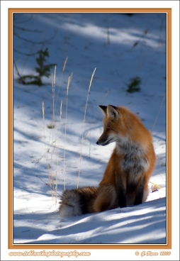 Winter_Fox