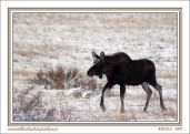 Young_Bull_In_Snow