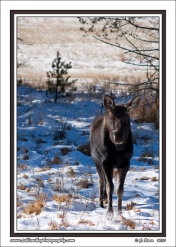 Young_Bull_Moose_In_Snow