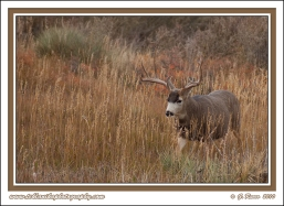 Buck_In_Tall_Grass
