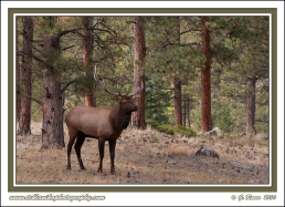 Elk_In_Pines