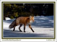 Fox_Crossing_Snowy_Road
