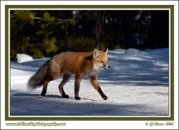 Fox_Crossing_Snowy_Road