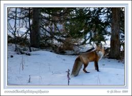 Fox_In_Blue