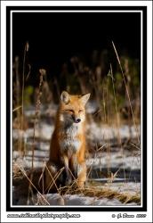 Fox_On_Fallen_Log