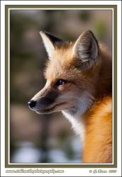 Fox_Portrait