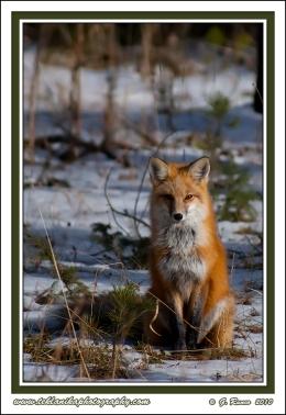 Foxy_Stare