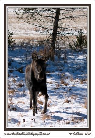 Incoming_Moose