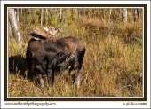 Moose_And_Shrub