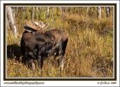 Moose_And_Shrub