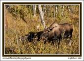 Moose_Browse