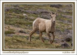 Bighorn_Ewe