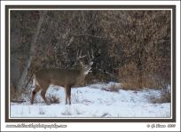 Buck_In_Snowy_Clearing
