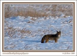 Coyote_In_Winter