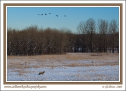 Coyotes_&_Geese