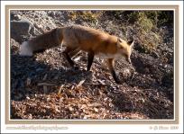 Downhill_Fox