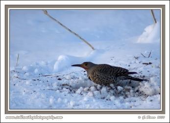 Flicker_In_Snow