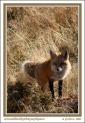 Fox_In_Light