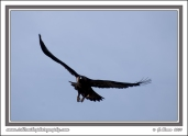 Golden_Wingspan