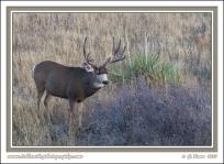 Mule_Buck