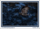 Pale_Hawk