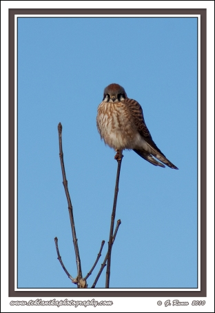 Perched_Kestrel