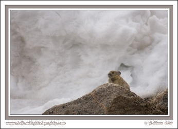 Pika_On_Rock