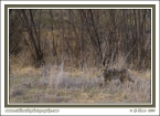 Plum_Creek_Coyote