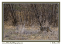 Plum_Creek_Coyote