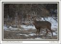 Snowy_Whitetail_Buck