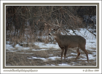 Snowy_Whitetail_Buck