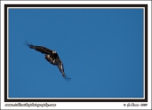 Swooping_Eagle