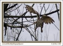 Swooping_Owl