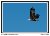 Bald_Eagle_In_Flight