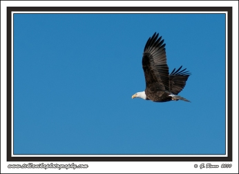Bald_Eagle_In_Flight