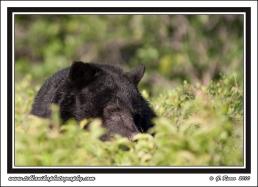Bear_Bushes