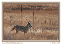 Big_Male_Coyote