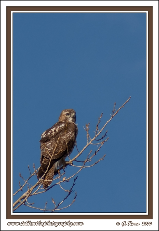 Brown_Hawk