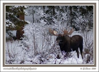 Browsing_Bull_Moose