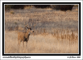 Buck_At_Sunset