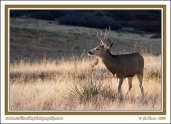 Buck_Eating_Yucca