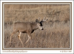 Buck_In_Winter_Grass