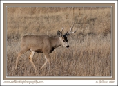 Buck_In_Winter_Grass