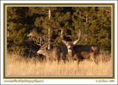Bucks_In_Winter