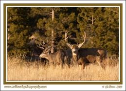 Bucks_In_Winter