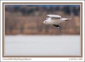 California_Gull